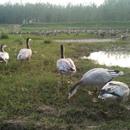 大雁养殖基地