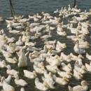鸭养殖基地